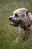 Border Terrier. A young border terrier relaxing in a field Stock Photography
