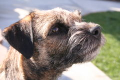 Border Terrier. Head shot of a Border Terrier Stock Images