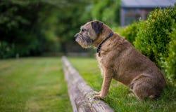 Border Terrier Lizenzfreie Stockbilder