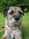 Border Terrier. Laying down in the grass Royalty Free Stock Image