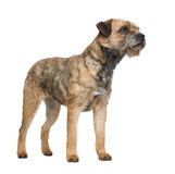 Border terrier. In front of a white background Royalty Free Stock Images