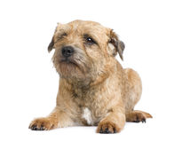 Border terrier. In front of a white background Stock Photography