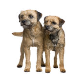Border terrier. In front of a white background Stock Images
