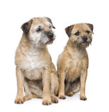 Border terrier. In front of a white background Royalty Free Stock Image