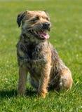 Border Terrier Lizenzfreie Stockfotos