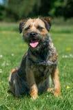 Border Terrier Stockfotografie