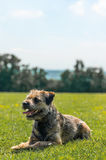 Border Terrier stockfoto