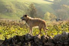 Border Terrier auf Wand Stockbild