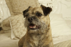Border terrier on a bed Royalty Free Stock Image