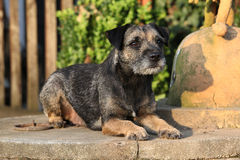 Border terrier bitch lying Stock Images