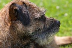 Border Terrier, der rechtes Profil schaut Stockfotografie