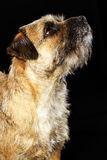 Border Terrier dog Stock Images
