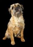 Border Terrier dog. Headshot of a Border Terrier dog, on black background Stock Photography