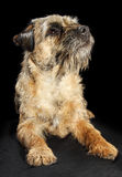 Border Terrier dog Royalty Free Stock Images