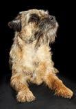 Border Terrier dog. Headshot of a Border Terrier dog, on black background Royalty Free Stock Images