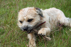 Border Terrier dog. Enjoying chewing on a stick Royalty Free Stock Photos