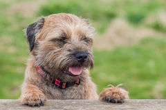 Border Terrier Dog Royalty Free Stock Image