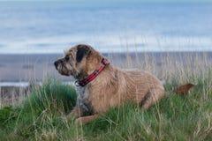 Border Terrier Dog Royalty Free Stock Photos