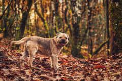 Border terrier dog in a fall forest. France stock photography