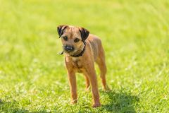 Border Terrier dog in the park. Border Terrier dog in the green park stock photography