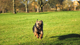 Border Terrier. Dog runs around a country park Royalty Free Stock Images