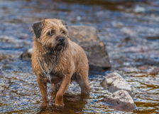 Border Terrier Dog standing in a stream. Royalty Free Stock Photo