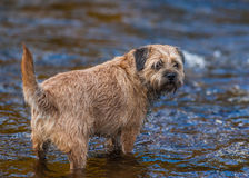 Border Terrier Dog standing in a stream. Stock Photos
