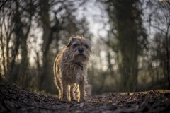 Border Terrier. In Gloucestershire scene. UK Royalty Free Stock Images