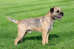 Border terrier on a green grass lawn stock image