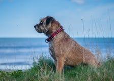 Border Terrier-Hund lizenzfreie stockbilder