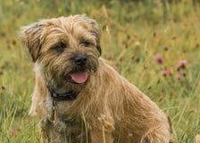Border Terrier-Hund stockfotos