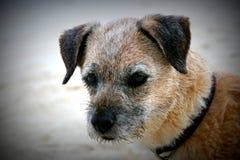 Border Terrier-Hundeabschluß oben Stockbilder