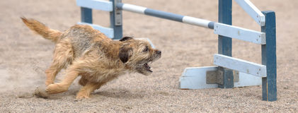 Border Terrier jumps over an agility hurdle Royalty Free Stock Images