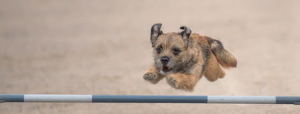 Border Terrier jumps over an agility hurdle Stock Images