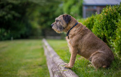 Border Terrier. Looking at owner out of the frame royalty free stock images