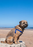 Border Terrier mit Trainings-Geschirr Stockfotografie