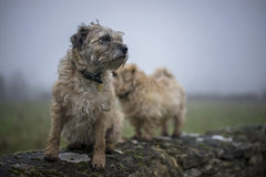 Border Terrier. Border and Norfolk Terrier on wall. Misty background. UK royalty free stock image
