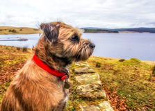 Border Terrier Overlooking A Lake In Digital Oils Royalty Free Stock Photos