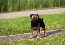 Border Terrier on the path Stock Photography