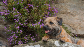 Border Terrier Stock Image