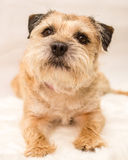 Border Terrier. A photograph of a Border Terrier dog Royalty Free Stock Image