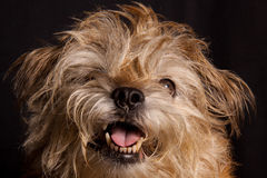 Border terrier portrait. Close up of rough coated Border Terrier with mouth open Stock Image