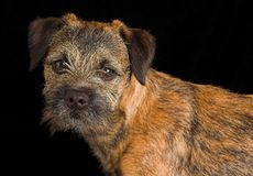 Border terrier puppy. Posing against black background Royalty Free Stock Photo