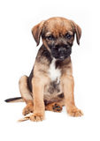 Border terrier puppy. Sits calmly Royalty Free Stock Image