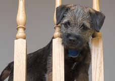 Border Terrier Puppy. Border terrir puppy at banister Royalty Free Stock Images