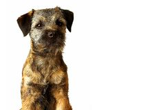 Border terrier puppy. Posing Stock Images