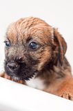 Border terrier puppy bathing Royalty Free Stock Photography