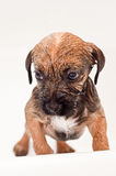 Border terrier puppy bathing Stock Photo