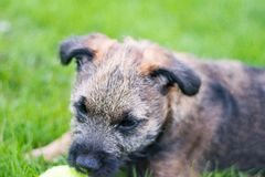 Border Terrier Puppy Royalty Free Stock Image