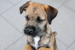 Border terrier puppy Stock Image